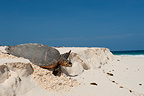 Hawksbill Turtle returning to the ocean after spawning (Hawksbill sea turtle)