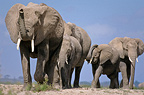 Group of elephants in Amboseli Park Kenya (African elephant)