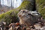 European hare in the woods Lorraine France  (European Hare )