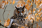 Portrait of Long-eared owl in the woods France  (Long-eared Owl )