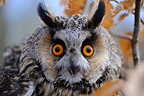 Portrait of Long-eared owl in the woods France� (Long-eared Owl )