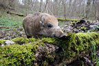 Boar rubbing on a tree trunk in the woods France  (Wild boar)