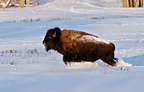 American Bison running in snow Alberta Canada (American Bison)
