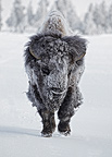 American Bison bull covered in ice Yellowstone NP Wyoming (American Bison)