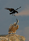 White-necked Raven harassing a Cape Griffon Vulture, South Africa