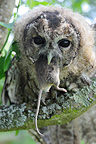 Tawny Owl swallowing a Field Mouse, France�