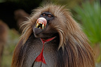Portrait of a male Gelada Simien Mountains Ethiopia (Gelada baboon )