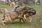 Two males Iberian Wolf fighting Spain (Iberian wolf)