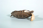 Freshwater turtle turning on a white background (Helmeted turtle)