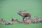 Red deer roaring surrounded by hinds France (Red deer)