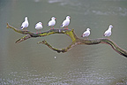 Black-headed gulls on a branch above a pond France (Black-headed gulls)