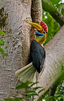 Male Knobbed Hornbill at the entrance of its nest Sulawesi (Knobbed Hornbill)