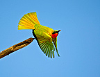 Red-throated Bee-eater taking off from branch Senegal (Red-throated Bee-eater)