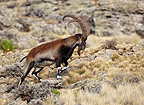 Walia Ibex Simien Mountains Ethiopia (Walia Ibex)