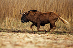 Black Wildebeest running South Africa (Black Wildebeest)