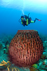 Barrel Sponge on the seabed of the island of Dominica