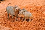 Young Warthogs playing in the ground Masai Mara Kenya (Warthog)