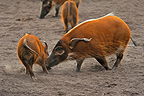 Cameroun Red river hog and young playing (Red river hogs  (Bushpig))