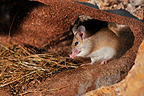Northeast African Spiny Mouse in burrow Ouarzazate Morocco� (Northeast African Spiny Mouse)