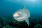 Ocean sunfish in the Mediterranean sea Monaco  (Ocean sunfish)