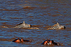 Hippos and Zebras crossing the Mara River Kenya� (Hippopotamus)