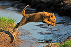 Lion jumping over a stream Masai Mara Kenya� (African lion)