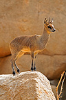 Klipspringer standing on a rock Masai Mara Kenya� (Klipspringer)