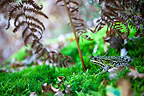 Green frog on moss and fern Brenne France�
