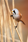Bearded tit perched amongst phragmites winter England (Bearded tit/reedling)