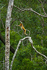Proboscis monkey standing on a branch Labuk Bay Borneo (Proboscis monkey )