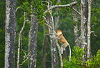 Proboscis monkey male climbing on a trunk Labuk Bay Borneo (Proboscis monkey )