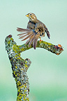 Corn Bunting on a branch Balaguer in Catalonia Spain (Corn Bunting)