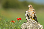 Montagu's Harrier female on a rock in Spain (Montagu's Harrier)
