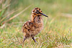 South American Snipe chick in the Falklands (South American Snipe)