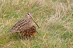 South American Snipe chick and adult female in the Falklands (South American Snipe)