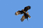 Striated Caracara flying and fighting at Faklands (Striated Caracara)