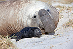 Southern Elephant Seal male with a young at Faklands (Southern elephant seal )