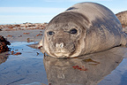 Young Southern Elephant Seal on the beach at Faklands (Southern elephant seal )