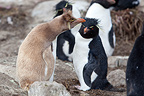 Southern Rockhopper Penguin at the Faklands (Southern Rockhopper Penguin)