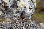 Red-backed Hawk on its nest in the cliffs in the Falklands (Red-backed Hawk)