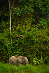 Bornean pygmy forest elephant in lowland rainforest Borneo (Bornean Pygmy Elephant)