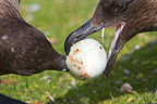 Southern Skuas with a pinguin egg at Falklands (Southern Skua)