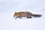 Red fox in the snow Gran Paradiso Alps Italy (Red fox)
