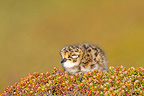 Rufous-chested Plover chick in the Falklands (Rufous-chested Plover)
