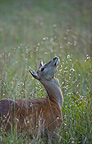 Fermale red deer in the tall grass Spain (Red deer)