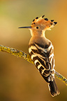 Eurasian Hoopoe on a branch France (Eurasian Hoopoe)