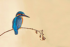 Common Kingfisher on a branch France (Kingfisher)