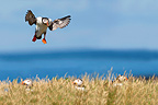 Atlantic Puffin in flight Farne Islands Great Brittain (Atlantic Puffin)