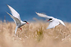 Arctic terns n flight over a field of wheat Farne islands (Arctic tern)
