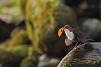 White-throated Dipper in courtship Ariège France (White-throated Dipper)